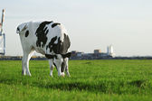 Black and white Holstein cow grazing — Stock Photo