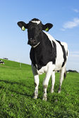 Zwart-wit holstein friesian koe — Stockfoto