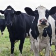 Curious Holstein cows - Stock Photo