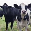 Stock Photo: Curious Holstein cows