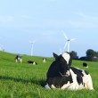 Holstein dairy cow resting on grass — Stock Photo