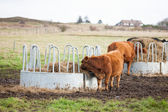Cows Grazing On Ranch — Foto Stock