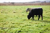 Cows Grazing On Field — 图库照片