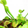 Venus fly trap — Stock Photo #25994345