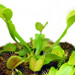 Venus fly trap — Stock Photo #26001017