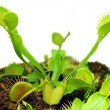 Venus fly trap — Stock Photo