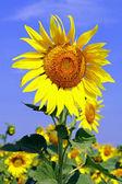 Sunflower — ストック写真