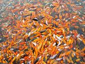 Carpas koi juntos compiten por alimentos — Foto de Stock