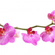 Pink orchid phalaenopsis isolated on white — Stockfoto