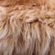 Fluffy animal fur texture — Stock Photo