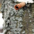 Stockfoto: Collecting birch juice