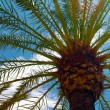 Close up view of palma tree against blue sky — Stock fotografie