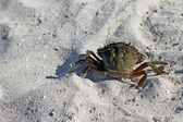 Sea crab walking on the beach sand — Stock Photo