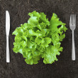 Butter lettuce salad in soil with fork and knife — Стоковая фотография