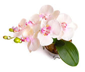 Flower pot with orchid isolated on white — Stock Photo