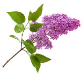 Purple lilac branch isolated on white — Stock Photo