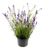 Lavender in pot isolated on white — Stock Photo