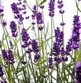 Closeup of lavender — Stock Photo