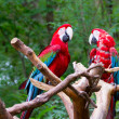 Stock Photo: Red parrot birds