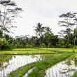 Rice field at mountain foot — Stock Photo #13264089