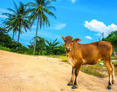 Cow on the coast — Stock Photo