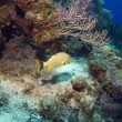 Cayman Island Reef Scene with French Grunt - Stock Photo