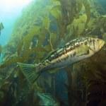 kelp bas in de kelp — Stockfoto