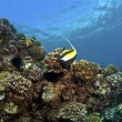 Reef in Kona Hawaii with Moorish Idol and Raccoon Butterflyfish - Lizenzfreies Foto