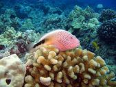 Blackside Hawkfish sitting on Coral — Stock Photo