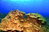 Coral Head in Hawaii — Stock Photo