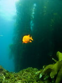 Garibaldi swimming out of the Kelp in Catalina — Stok fotoğraf