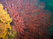 Gorgonian Sea Fan and Soft Coral in Catalina — Stock Photo