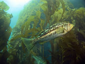 Kelp Bass in the Kelp — Stock Photo
