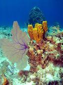 Sea Fan and Sponge on a Cayman Island Reef — Stock Photo