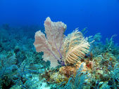 Corail mou et fan de la mer — Photo