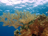 Soft Corals on a Cyman Brac reef — Stock Photo