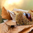 Chestnuts in autumn — Stock Photo