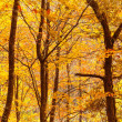 Stock Photo: Beautiful autumn trees foliage at forest