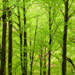 Stock Photo: Beautiful forest background with high trunks and green foliage a