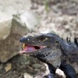 Gray iguana eating a egg — Stock Photo