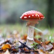 Picture of a Amanita poisonous mushroom in rainy day — Photo #35251703