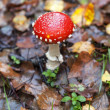 Picture of a Amanita poisonous mushroom in rainy day — Stockfoto