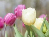 Beautiful tulips at the garden in a sunny day — Stock Photo