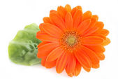 Gerber flower. Orange gerbera flower close up photo — Stock Photo