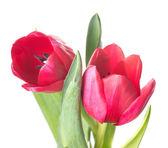 Tulips — Foto Stock