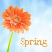 Gerber flower with text Spring — Stock Photo