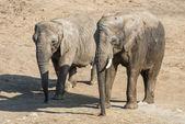 Couple d'éléphants — Photo