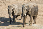 Par elefanter — Stockfoto