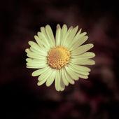 Sedmikráska květ — Stock fotografie
