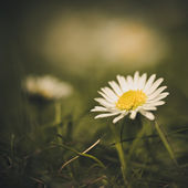 Daisy blomman — Stockfoto